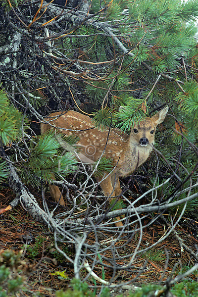 Very young Black-tailed deer fawn (Odocoileus hemionus) standing under tree on wet morning, Pacific Northwest, summer.
