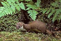 MA28-066z  Short-Tailed Weasel - ermine in brown summer coat - Mustela erminea
