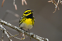 Townsend's Warbler (Setophaga townsendi). Deschutes County, Oregon. May.