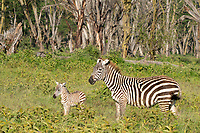 Grant's Zebra, Equus quagga boehmi, mother and colt in Lake Nakuru National Park, Kenya