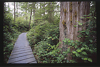 Hall of Mosses Trail Boardwalk at the Hoh Rain Forest, Olympic National Park, Washington, US