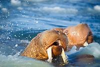 walrus, Odobenus rosmarus, in the water in the midle of pack ice in the Bering sea of Alaska, Arctic