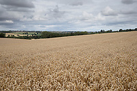 14-8-2021 Wheat in Rutland<br /> Tim Scrivener Photographer 07850 303986<br /> …..Covering Agriculture In The Uk…..