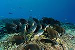 Schooling Teira batfish (Platax teira) seeming to huddle together for the night