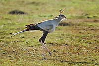 Secretary Bird (Sagittarius serpentarius), adult walking,Masai Mara, Kenya, Africa