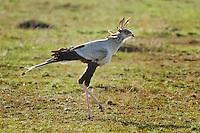 Secretary Bird (Sagittarius serpentarius), adult walking,Masai Mara, Kenya, Africa