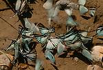 Butterflies on mud bank, Pantanal, Brazil