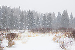 Snow falling over boreal forest and bog in winter, Riding Mountain National Park, Manitoba, Canada