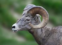 Close up of Big Horn Sheep. Glacier National Park, Montana