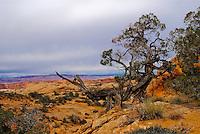 """""""JUNIPER""""<br /> <br /> Scrub juniper in Arches National Park."""