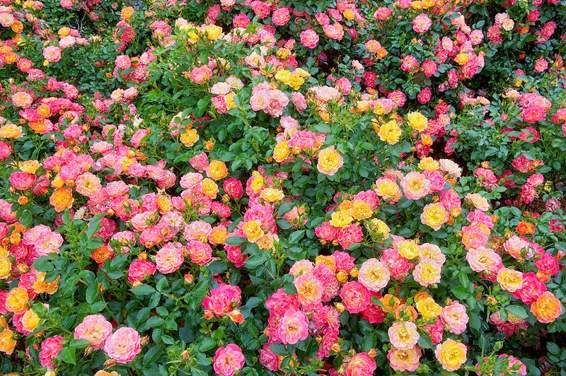 Carpet of Color roses. Heirloom Gardens, Oregon