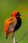 Southern red bishop, Serengeti National Park, Tanzania