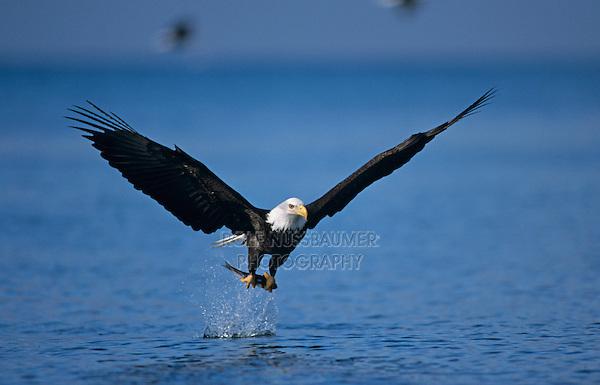 Bald Eagle, Haliaeetus leucocephalus,adult in flight with fish, Homer, Alaska, USA