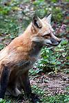 Red fox sitting medium shot, vertical
