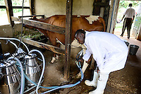 KENIA, County Kakamega, Bukura, ATDC Agricultural Technology Development Center, dairy farm, milking with machine / Milchviehhaltung, Melken mit Melkmaschine