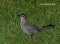 TH01-501z  Gray Catbird, Dumetella carolinensis