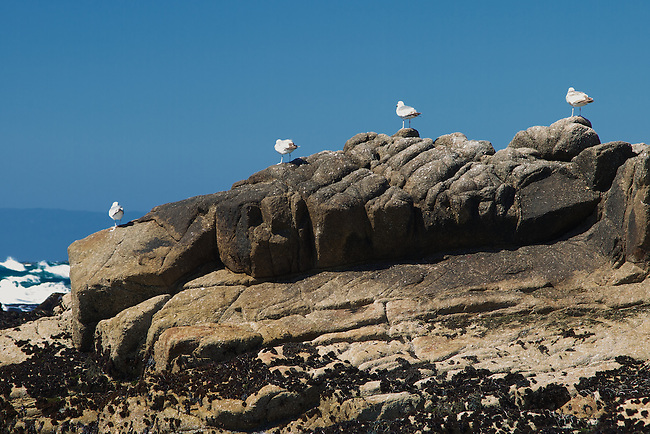 Pigeons enjoying the water view on 17-mile drive