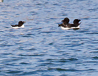 Adult razorbills in breeding plumage, one of the pair seems to be arguing with the bird to the left