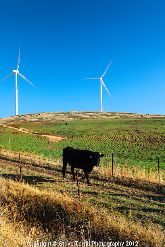 Cow passing by windmills near Goldendale, Washington