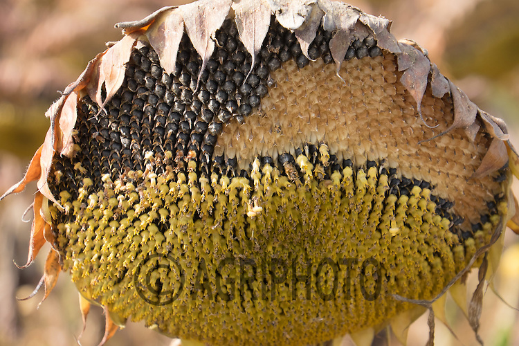 Sunflowers for bird food<br /> Picture Tim Scrivener 07850 303986<br /> tim@agriphoto.com<br /> ….covering agriculture in the UK….