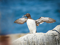 Thin-Billed, Bridled form, Murre with wings out and fish in beak standing on rock