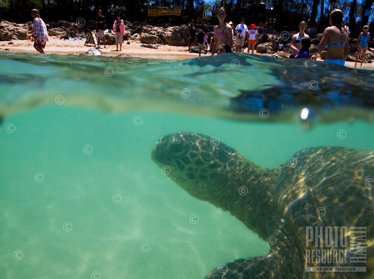 Turtle (honu) swimming underwater at Laniakea Beach on the North Shore of Oahu