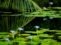 Water lilies at pond at Black sand Beach. Hawaii, THe Big Island. Punaluu Black sand Beach