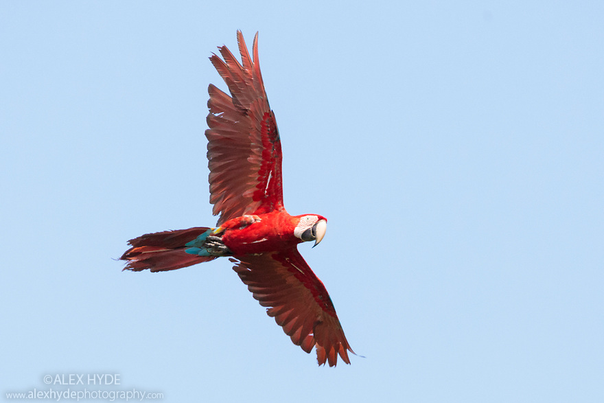 Red-and-Green Macaw (Ara chloropterus), Blanquillo Clay Lick, Manu Biosphere Reserve, Peru. November.