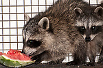 8 week old raccoon munching on a piece of watermelon while under the care of the New England Wildlife Center in Barnstable, Massachusetts, 2-shot. medium view.