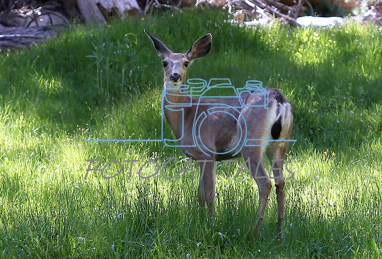 A deer eats in a meadow in the Sierra National Forest, near Oakhurst, Ca., on July 12, 2011..Photo by Cathleen Allison