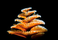 Christmas tree worm, Spirobranchus giganteus, Bonaire, ABC Islands, Netherlands Antilles, Caribbean Sea, Atlantic Ocean