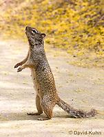 0613-1107  Rock Squirrel (Ground Squirrel), Pregnant Female, Spermophilus variegatus (Otospermophilus variegatus)  © David Kuhn/Dwight Kuhn Photography