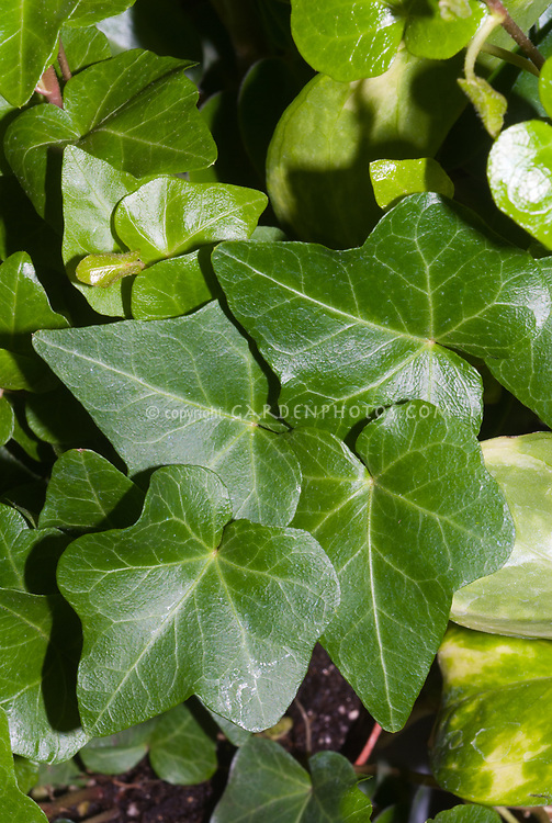 Hedera helix 'Royal Tee' English ivy