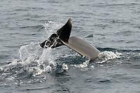 Short-finned Pilot Whale, Globicephala macrorhynchus, raises its flukes while diving, Maldives, Indian Ocean