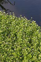 Kleinblättrige Brunnenkresse, Braune Brunnenkresse, Einreihige Brunnenkresse, Nasturtium microphyllum, watercress, One-rowed Watercress, Onerow Yellowcress, Cresson à petites feuilles