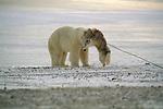 A polar bear and Arctic Eskimo dog play together in Hudson Bay, Manitoba, Canada.