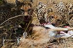 Two cheetahs feed on a carcass in Maasai Mara, Kenya.
