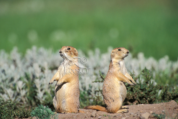Two Black-tailed Prairie Dogs watching from near their burrow.  Great Plains.  Summer.