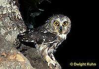 OW02-301z  Saw-whet owl - at nest cavity - Aegolius acadicus