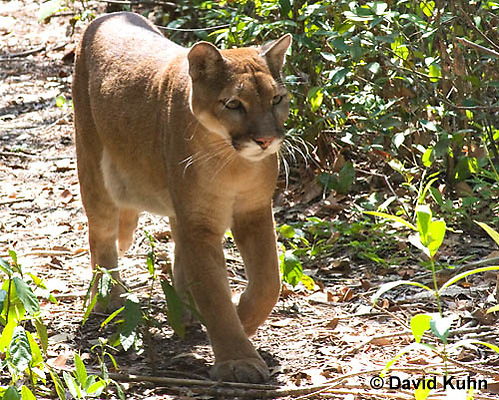 0525-1104  Costa Rican Cougar (Puma), Belize, Puma concolor costaricensis  © David Kuhn/Dwight Kuhn Photography