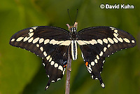 1020-0803  Giant Swallowtail Butterfly (Life Cycle Series), Papilio cresphontes © David Kuhn/Dwight Kuhn Photography.