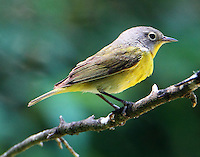 Adult male Nashville warbler