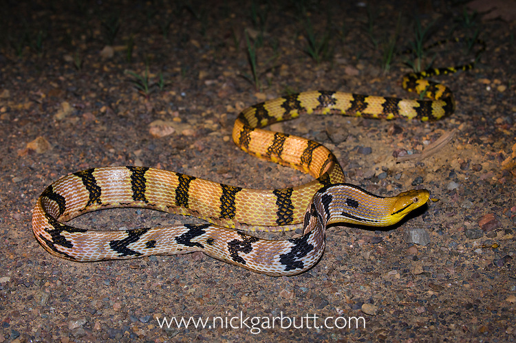 Adult Dog-toothed Cat Snake (Boiga cynodon) crossing road. Danum Valley, Sabah, Borneo.