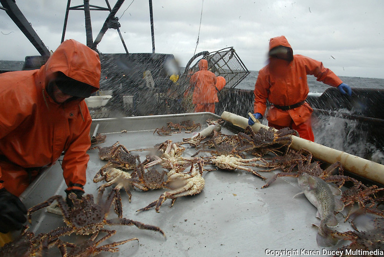10/20/03 crab NWS::  Crewmen Jeff Madigan (left) and Lee Fleury (right) sort out male red king crab that are 6.5 inches or bigger after a pot of crab is pulled aboard the F/V Exito and dumped onto a sorting table.  The smaller crab, which are juveniles and females, are tossed back into the sea, a regulation dictated by the Alaska Department of Fish & Game to preserve future stocks.  This year's ADFG forecast of 14.7 million pounds was the largest projected harvest of Bristol Bay red king crab in 12 years.  It will be several weeks before crabbers know if that harvest was met.  The season lasted 5 days and 2 hours and was plagued with gale force winds of 35 knots or higher almost everyday.