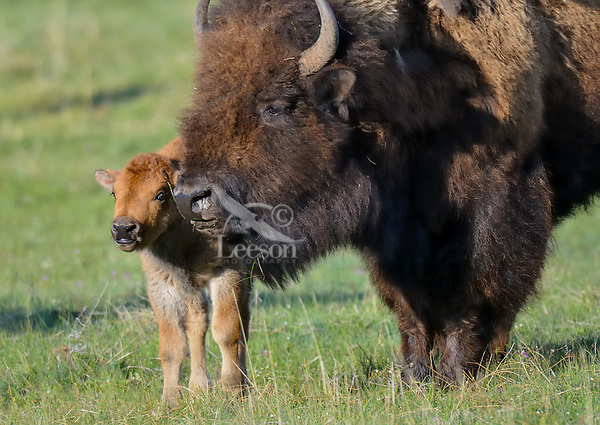 American Bison (Bison bison) cow with young calf in spring.  Yellowstone National Park.