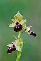 Small Spider Orchid, Ophrys araneola,blossom, National Park Lake Neusiedl, Burgenland, Austria, Europe