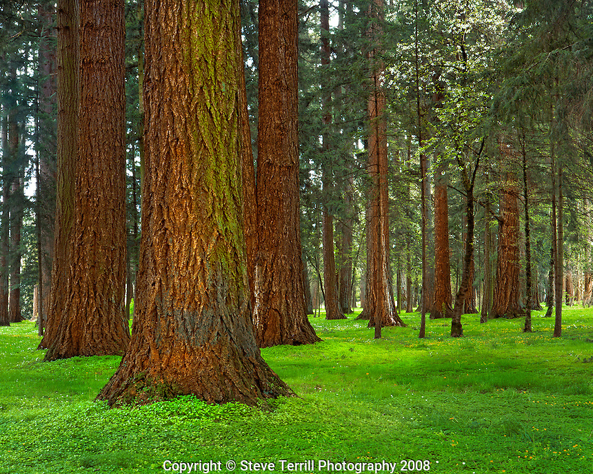Douglas fir trees rising above forest floor covered in spring ground cover in Maude Williamson State Park, Oregon
