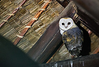 We had some Barn owls roosting under the eaves of our tents in Ndutu.
