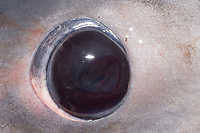 eye of porbeagle shark, Lamna nasus, captured for research, New Brunswick, Canada (Bay of Fundy)