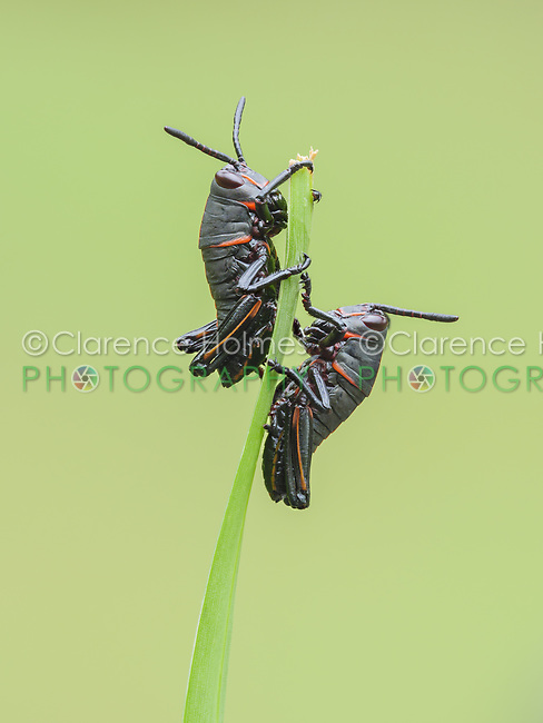 Eastern Lubber Grasshopper (Romalea microptera) nymphs (early instars) perch on a blade of grass.
